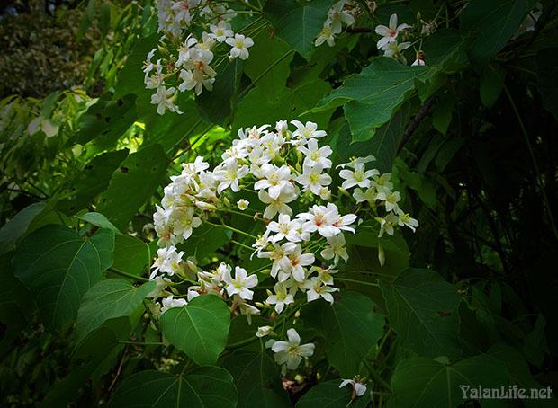 Taiwan Travel Tung Flowers Romanticism 台湾旅行 桐花 浪漫主义 Yalan雅岚 黑摄会